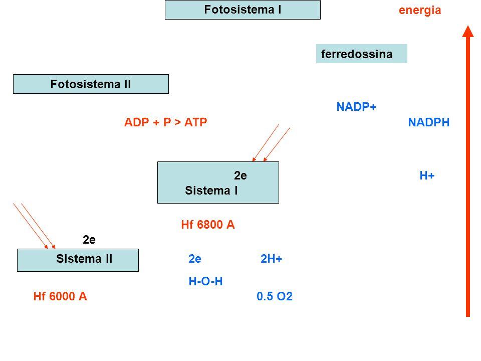 Fotosistema I energia. ferredossina. Fotosistema II. NADP+ ADP + P > ATP. NADPH. 2e. H+ Sistema I.