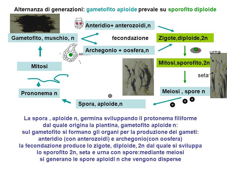 Alternanza di generazioni: gametofito aploide prevale su sporofito diploide
