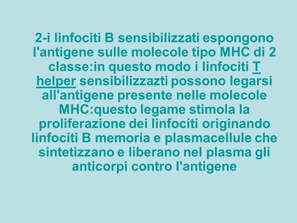 2-i linfociti B sensibilizzati espongono l antigene sulle molecole tipo MHC di 2 classe:in questo modo i linfociti T helper sensibilizzazti possono legarsi all antigene presente nelle molecole MHC:questo legame stimola la proliferazione dei linfociti originando linfociti B memoria e plasmacellule che sintetizzano e liberano nel plasma gli anticorpi contro l antigene