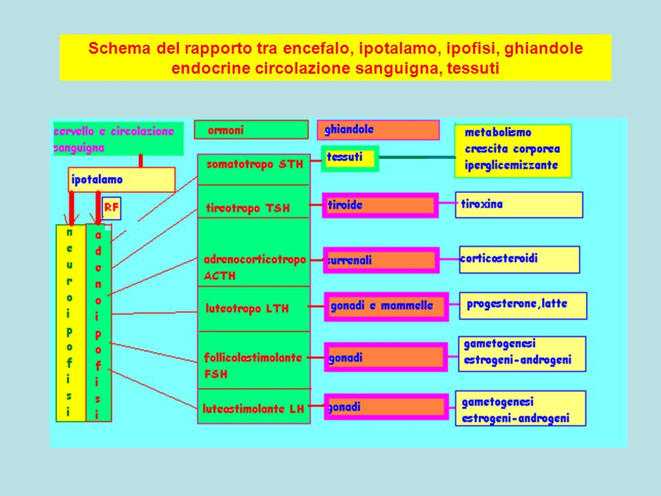 Schema del rapporto tra encefalo, ipotalamo, ipofisi, ghiandole endocrine circolazione sanguigna, tessuti