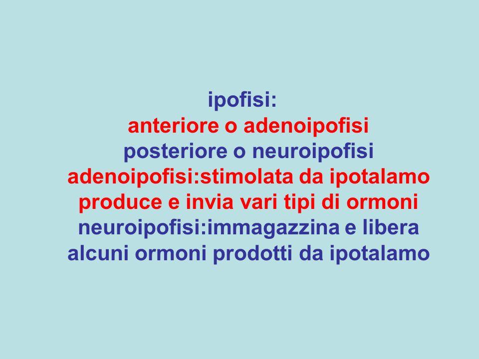 ipofisi: anteriore o adenoipofisi posteriore o neuroipofisi adenoipofisi:stimolata da ipotalamo produce e invia vari tipi di ormoni neuroipofisi:immagazzina e libera alcuni ormoni prodotti da ipotalamo