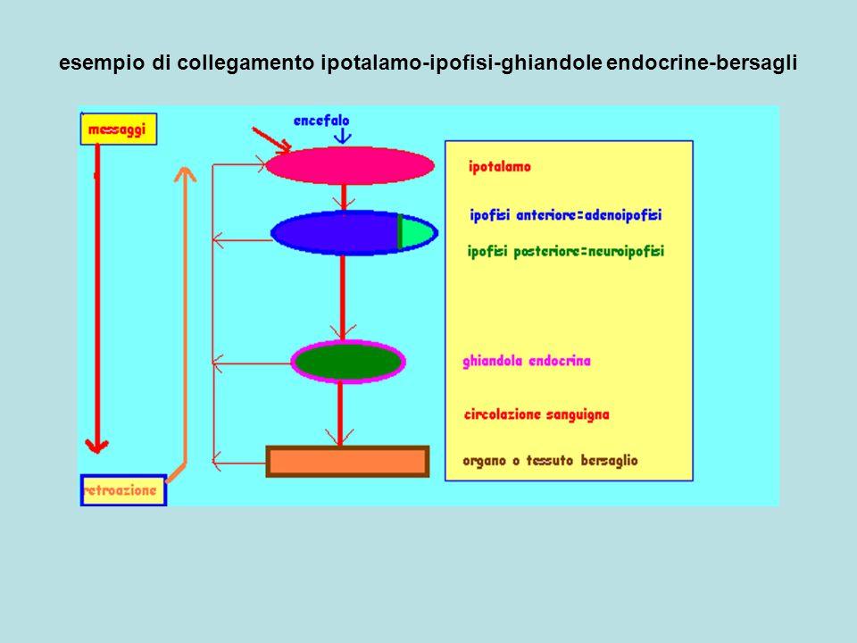 esempio di collegamento ipotalamo-ipofisi-ghiandole endocrine-bersagli