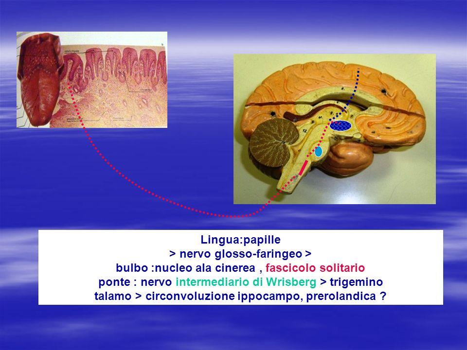 Lingua:papille > nervo glosso-faringeo > bulbo :nucleo ala cinerea , fascicolo solitario ponte : nervo intermediario di Wrisberg > trigemino talamo > circonvoluzione ippocampo, prerolandica