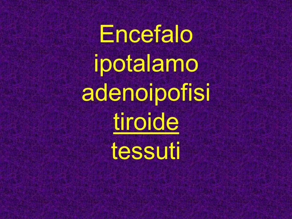 Encefalo ipotalamo adenoipofisi tiroide tessuti