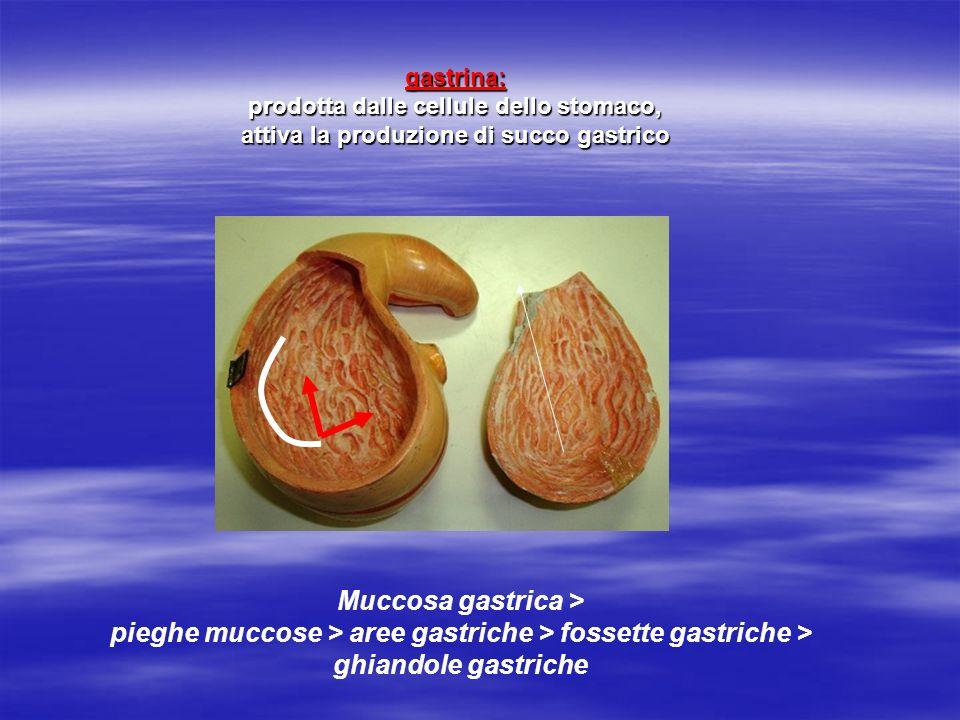 gastrina: prodotta dalle cellule dello stomaco, attiva la produzione di succo gastrico