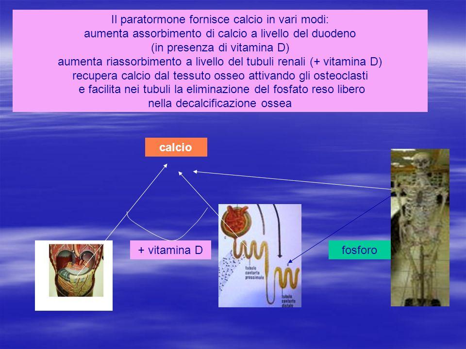 Il paratormone fornisce calcio in vari modi: aumenta assorbimento di calcio a livello del duodeno (in presenza di vitamina D) aumenta riassorbimento a livello del tubuli renali (+ vitamina D) recupera calcio dal tessuto osseo attivando gli osteoclasti e facilita nei tubuli la eliminazione del fosfato reso libero nella decalcificazione ossea