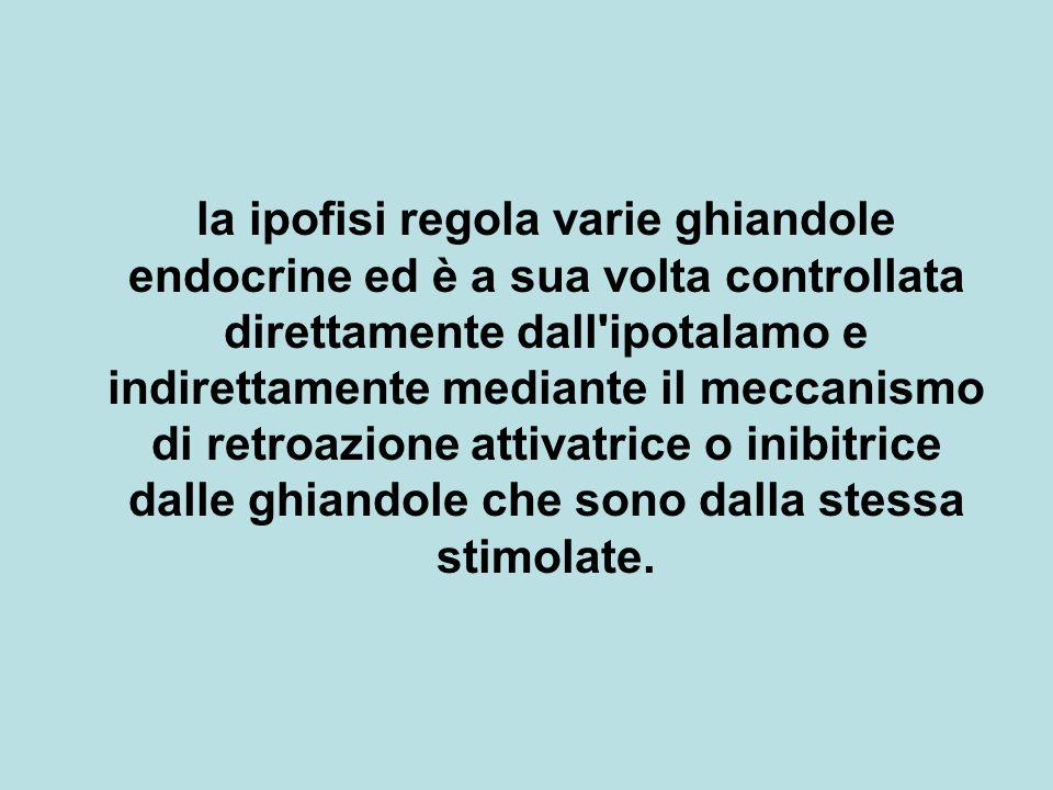 la ipofisi regola varie ghiandole endocrine ed è a sua volta controllata direttamente dall ipotalamo e indirettamente mediante il meccanismo di retroazione attivatrice o inibitrice dalle ghiandole che sono dalla stessa stimolate.