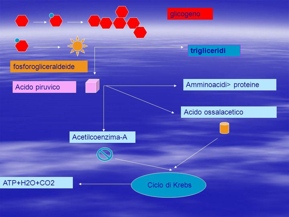 glicogeno trigliceridi. fosforogliceraldeide. Amminoacidi> proteine. Acido piruvico. Acido ossalacetico.