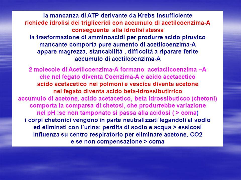 la mancanza di ATP derivante da Krebs insufficiente richiede idrolisi dei trigliceridi con accumulo di acetilcoenzima-A conseguente alla idrolisi stessa la trasformazione di amminoacidi per produrre acido piruvico mancante comporta pure aumento di acetilcoenzima-A appare magrezza, stancabilità , difficoltà a riparare ferite accumulo di acetilcoenzima-A