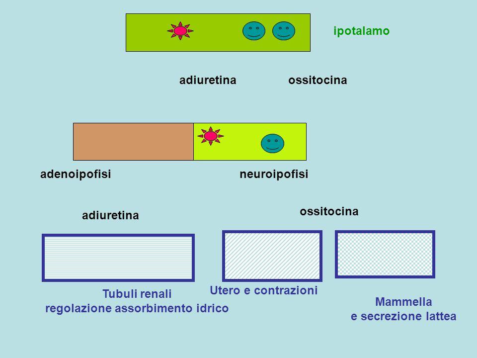 Tubuli renali regolazione assorbimento idrico