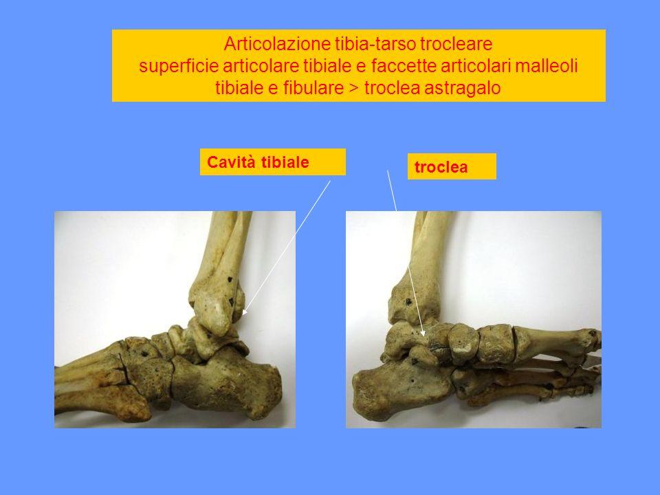 Articolazione tibia-tarso trocleare superficie articolare tibiale e faccette articolari malleoli tibiale e fibulare > troclea astragalo