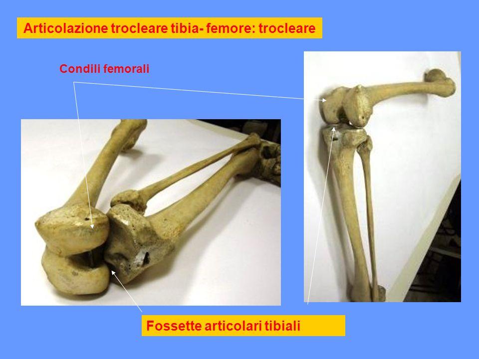 Articolazione trocleare tibia- femore: trocleare