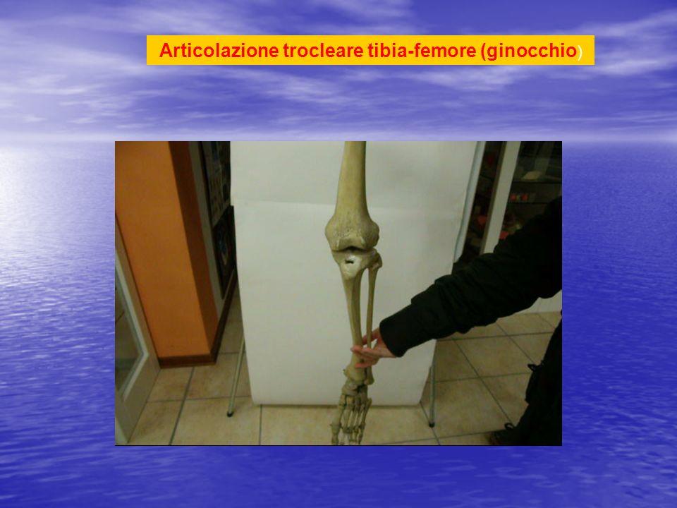 Articolazione trocleare tibia-femore (ginocchio)