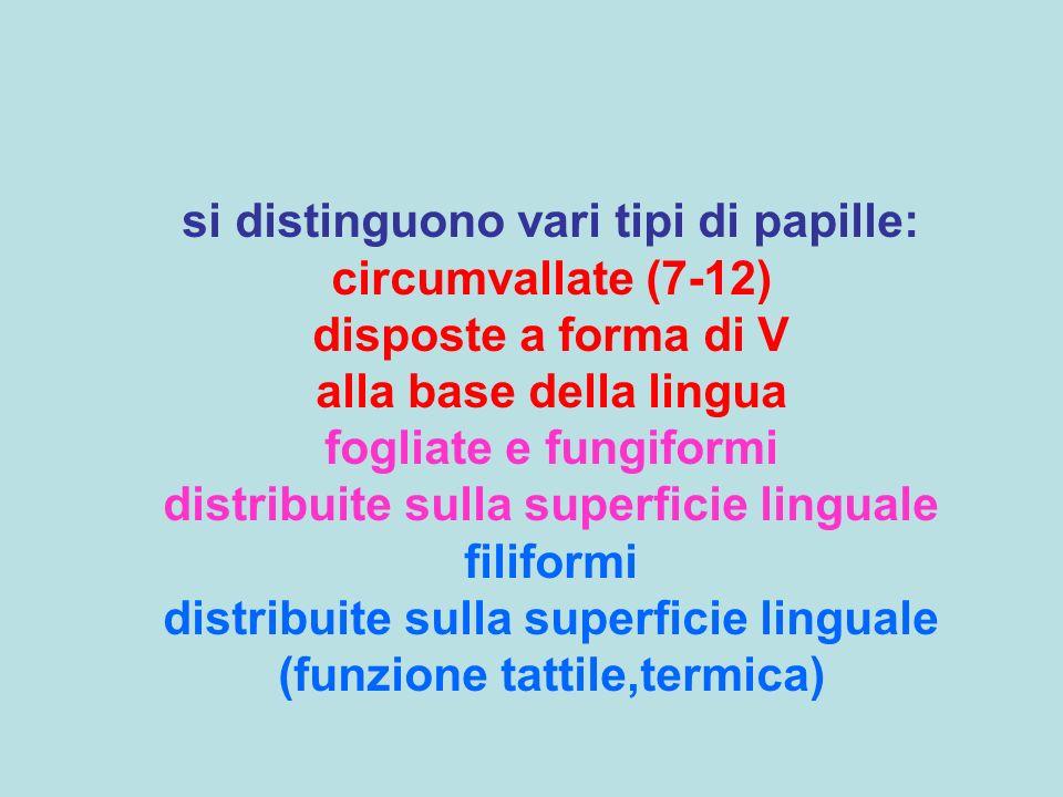 si distinguono vari tipi di papille: circumvallate (7-12) disposte a forma di V alla base della lingua fogliate e fungiformi distribuite sulla superficie linguale filiformi distribuite sulla superficie linguale (funzione tattile,termica)