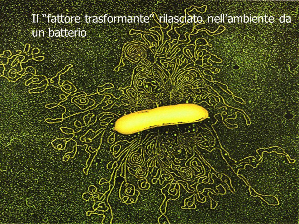 Il fattore trasformante rilasciato nell'ambiente da