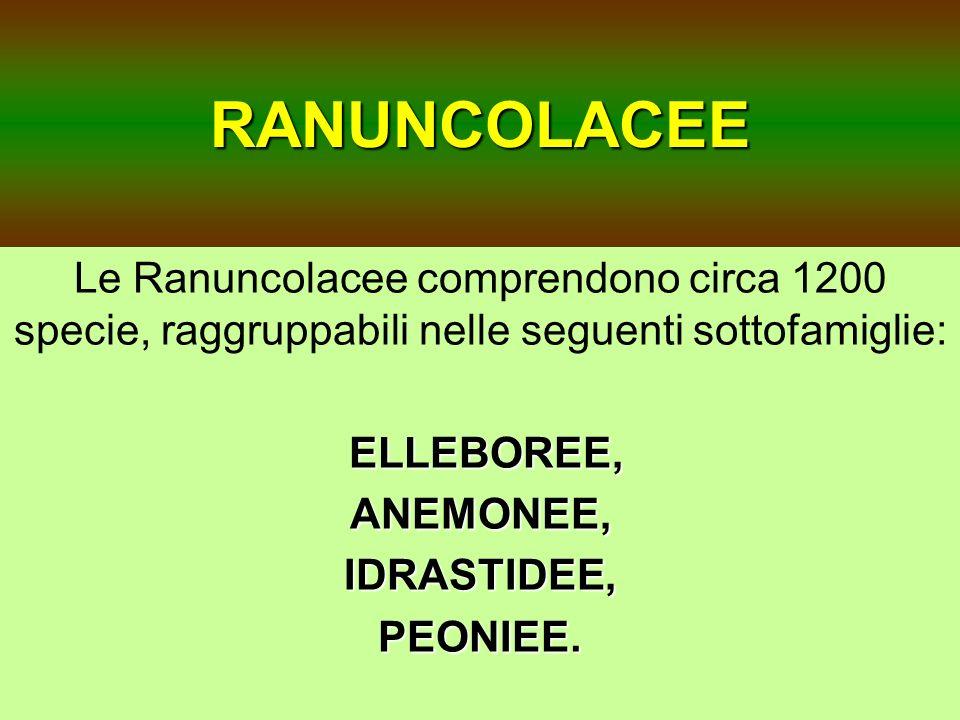 RANUNCOLACEE Le Ranuncolacee comprendono circa 1200 specie, raggruppabili nelle seguenti sottofamiglie: