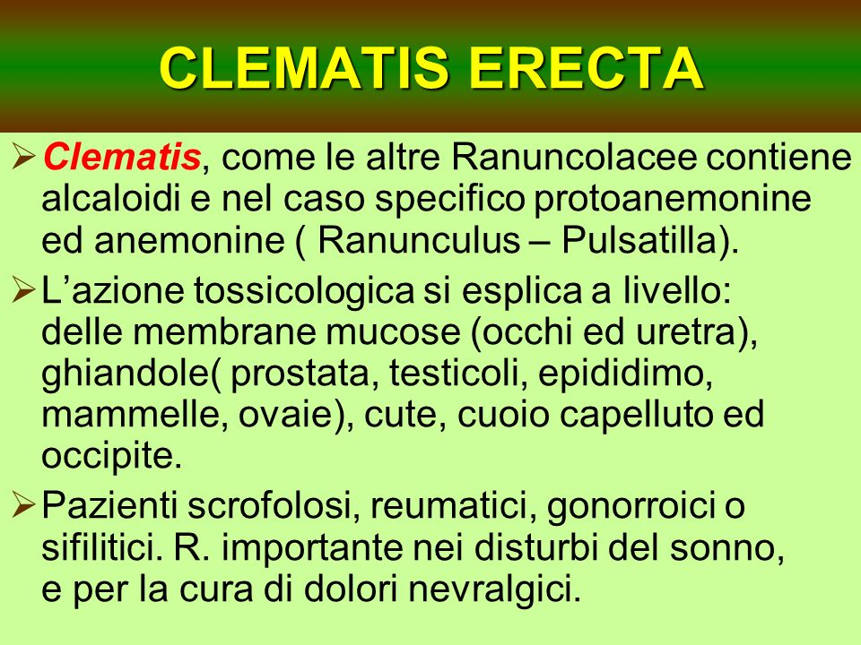 CLEMATIS ERECTAClematis, come le altre Ranuncolacee contiene alcaloidi e nel caso specifico protoanemonine ed anemonine ( Ranunculus – Pulsatilla).