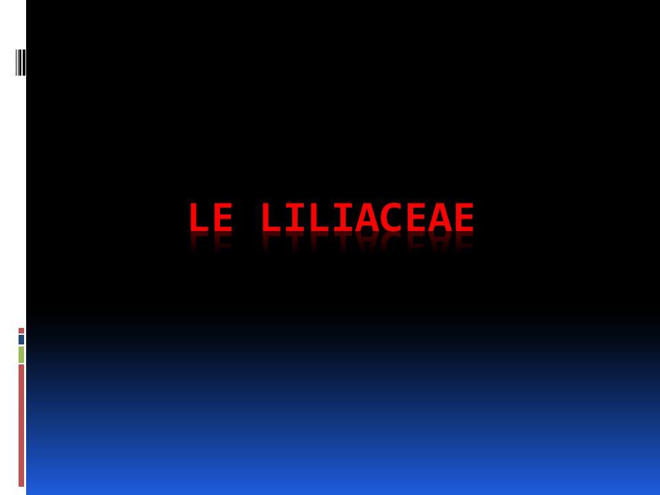LE LILIACEAE