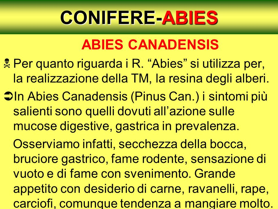 CONIFERE-ABIES ABIES CANADENSIS