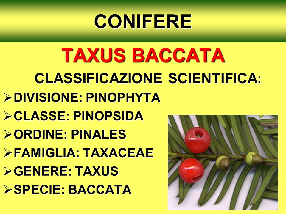 CONIFERE TAXUS BACCATA CLASSIFICAZIONE SCIENTIFICA: