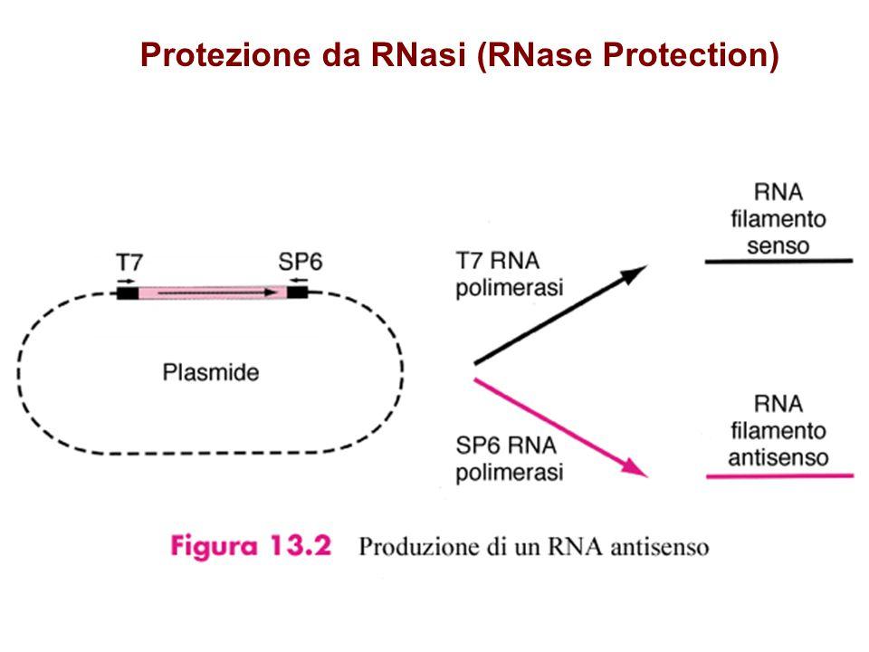 Protezione da RNasi (RNase Protection)