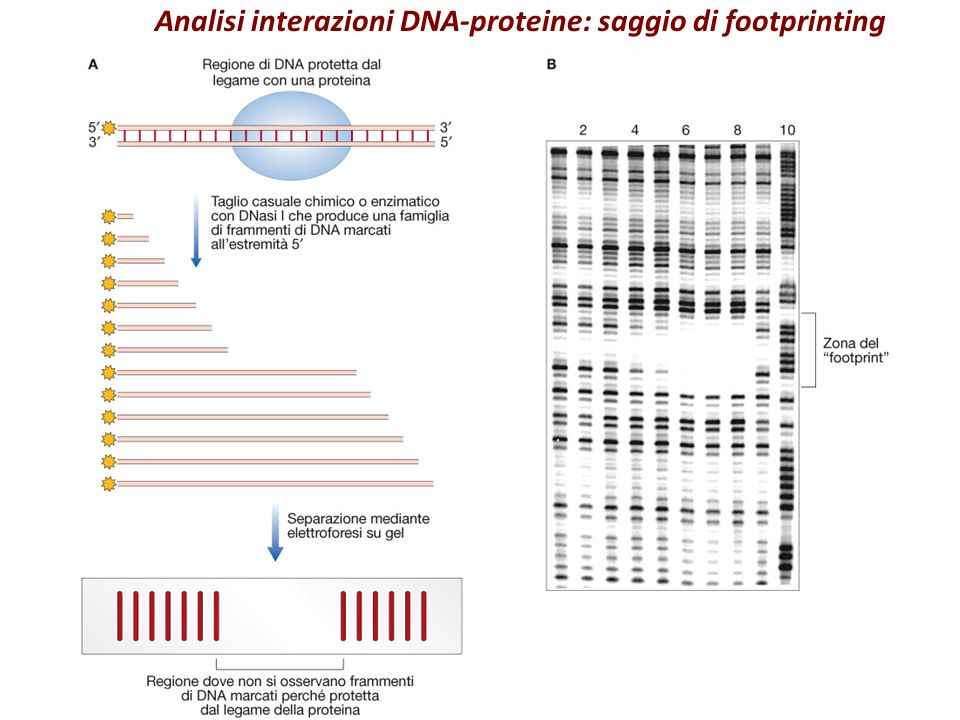Analisi interazioni DNA-proteine: saggio di footprinting