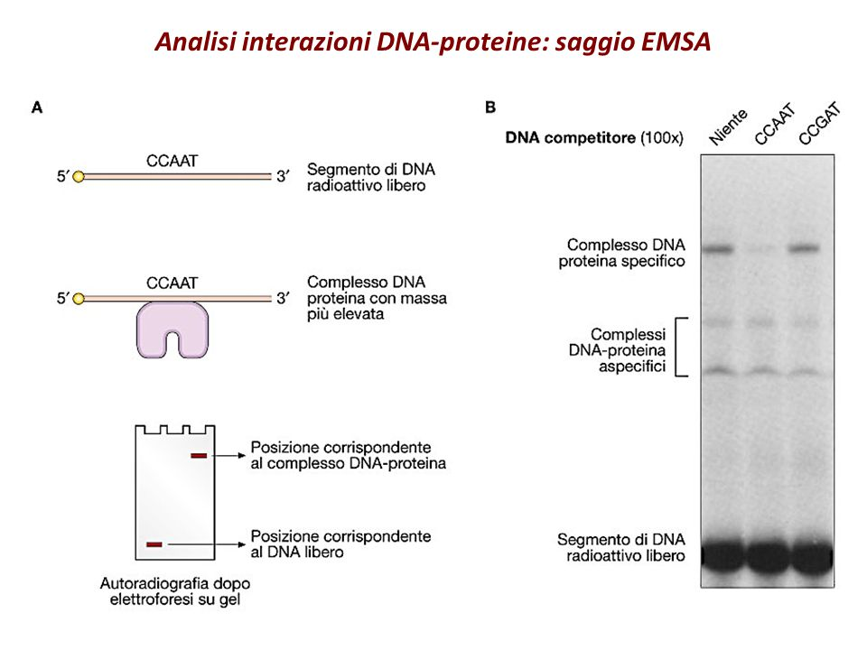 Analisi interazioni DNA-proteine: saggio EMSA