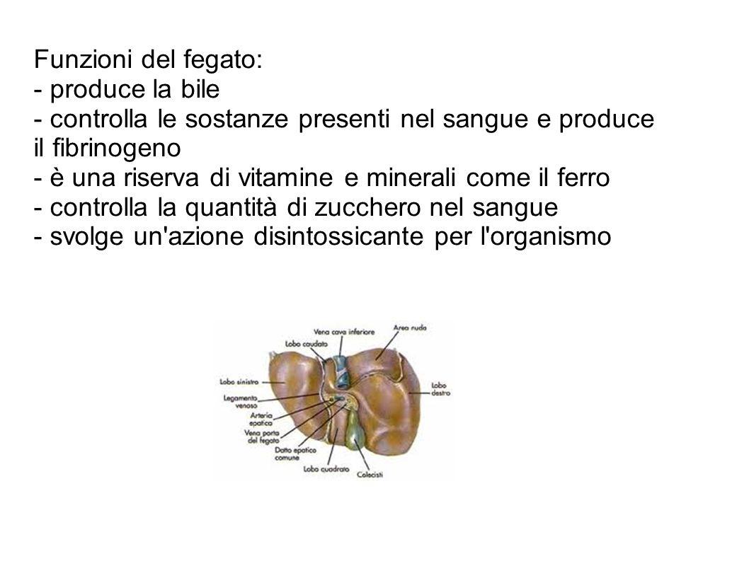 Funzioni del fegato: - produce la bile. - controlla le sostanze presenti nel sangue e produce il fibrinogeno.