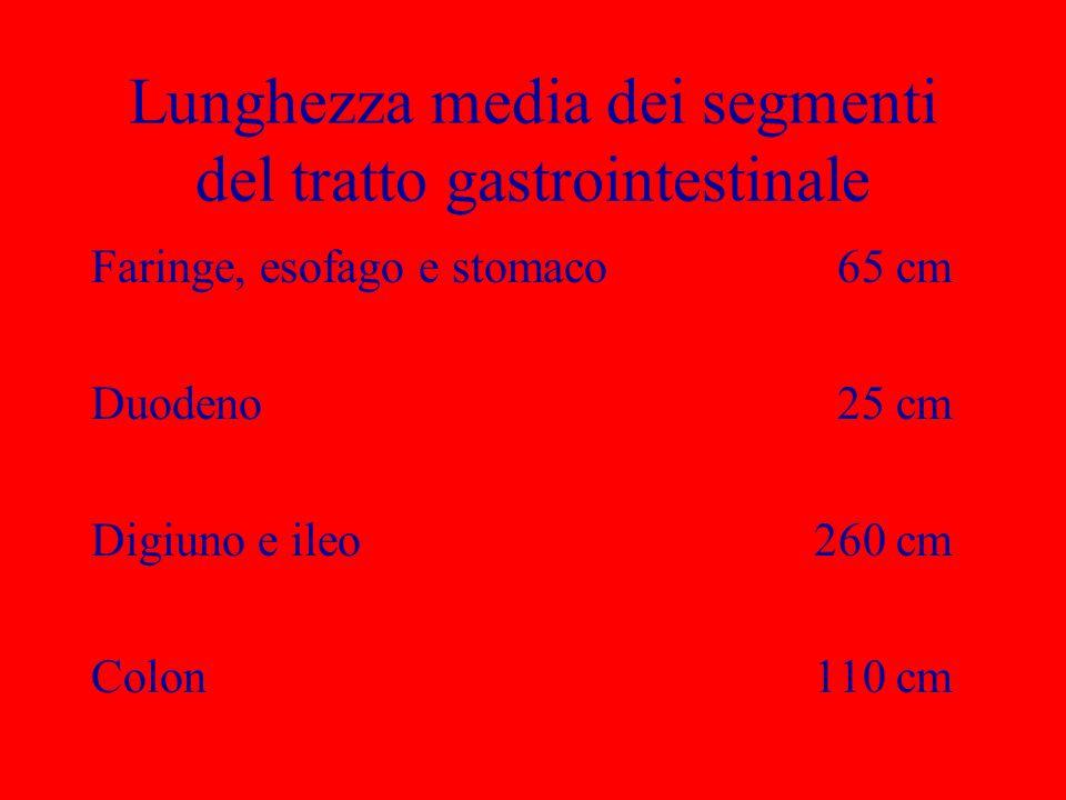Lunghezza media dei segmenti del tratto gastrointestinale