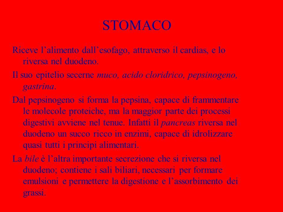 STOMACO Riceve l'alimento dall'esofago, attraverso il cardias, e lo riversa nel duodeno.