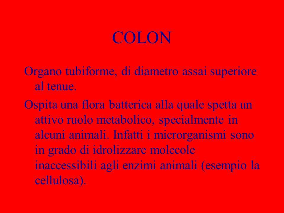 COLON Organo tubiforme, di diametro assai superiore al tenue.