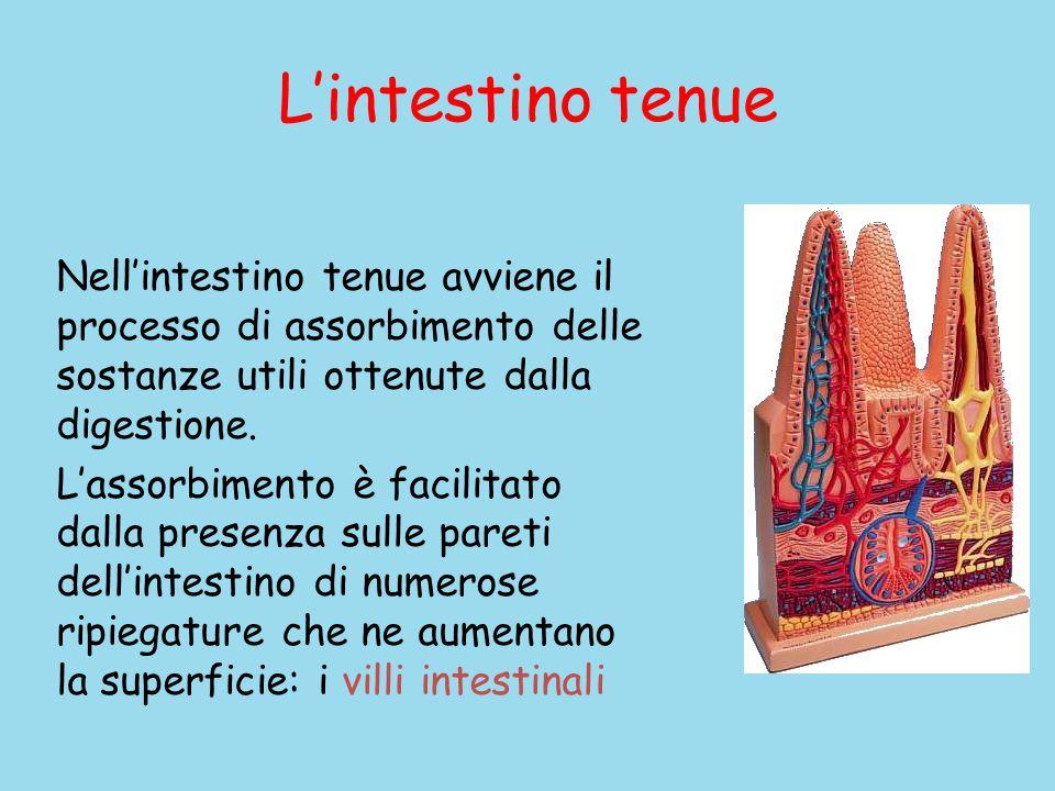 L'intestino tenue Nell'intestino tenue avviene il processo di assorbimento delle sostanze utili ottenute dalla digestione.