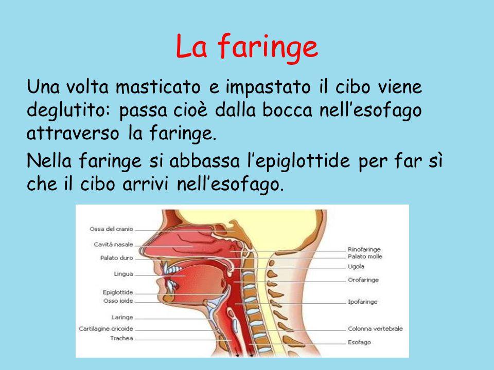 La faringe Una volta masticato e impastato il cibo viene deglutito: passa cioè dalla bocca nell'esofago attraverso la faringe.