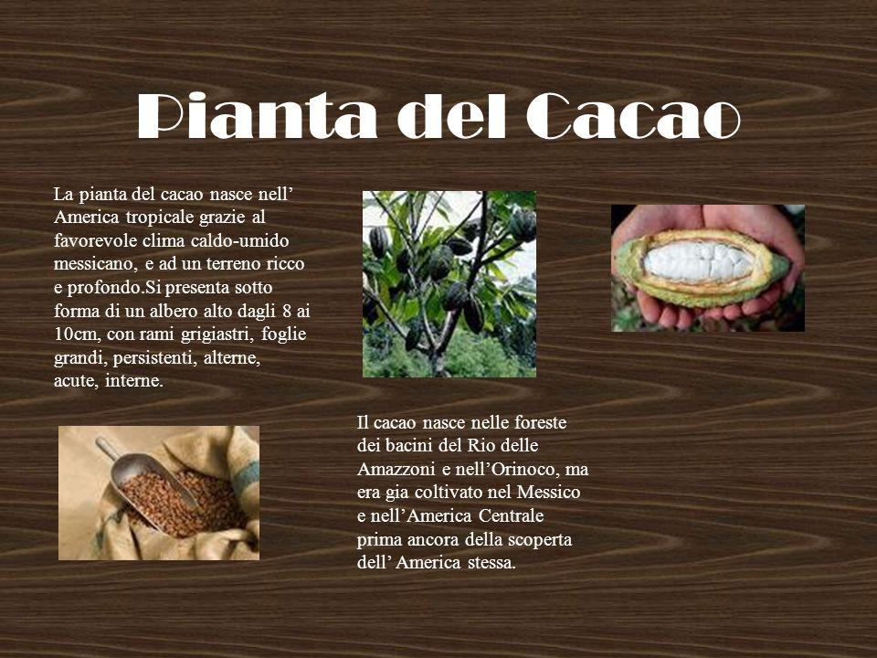 Pianta del Cacao