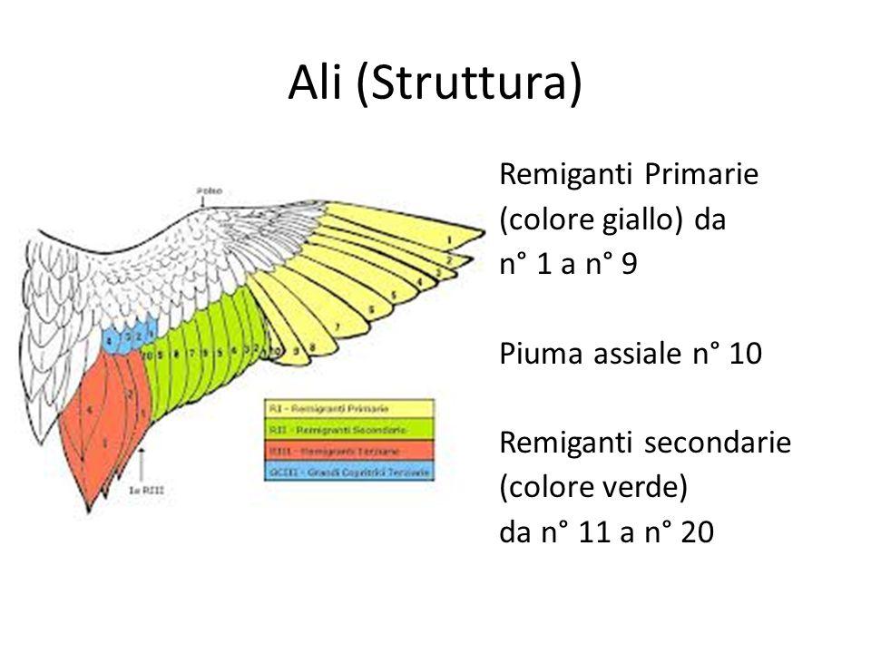 Ali (Struttura) Remiganti Primarie (colore giallo) da n° 1 a n° 9 Piuma assiale n° 10 Remiganti secondarie (colore verde) da n° 11 a n° 20