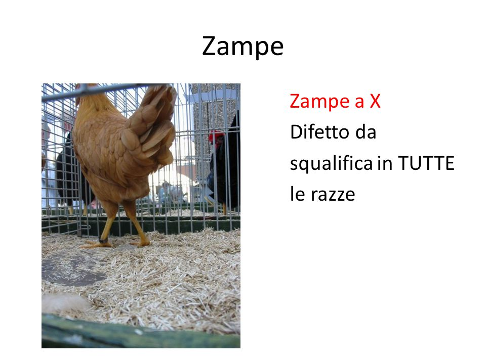 Zampe Zampe a X Difetto da squalifica in TUTTE le razze