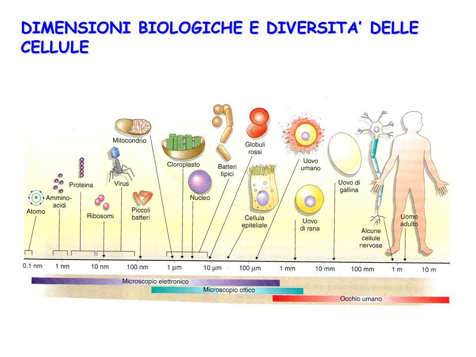 DIMENSIONI BIOLOGICHE E DIVERSITA' DELLE CELLULE