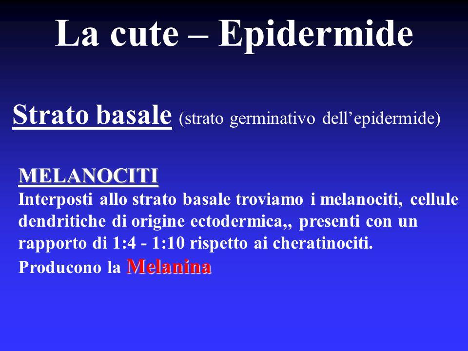 La cute – Epidermide Strato basale (strato germinativo dell'epidermide) MELANOCITI.