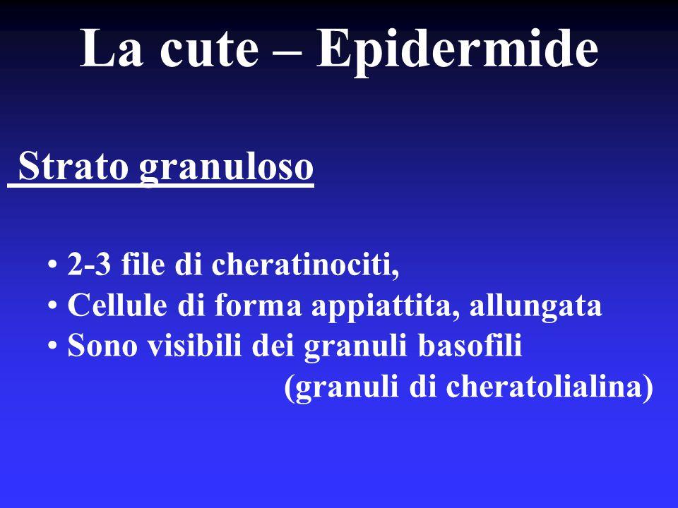 La cute – Epidermide Strato granuloso 2-3 file di cheratinociti,