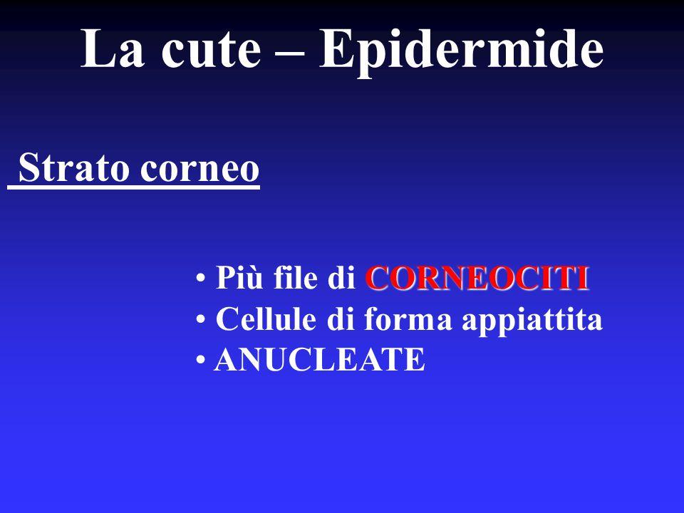La cute – Epidermide Strato corneo Più file di CORNEOCITI