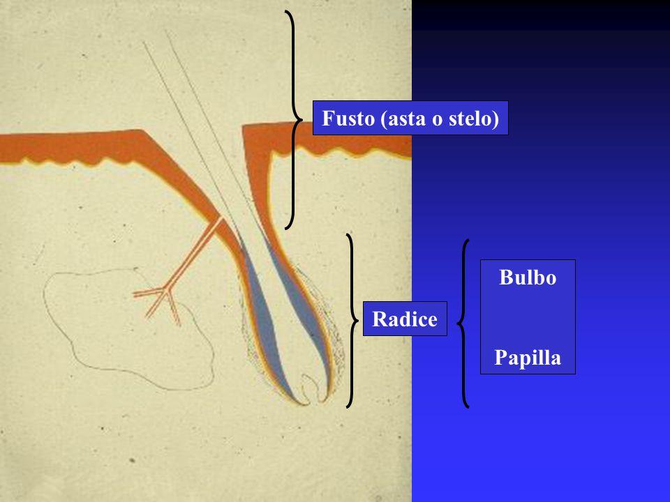 Fusto (asta o stelo) Bulbo Papilla Radice