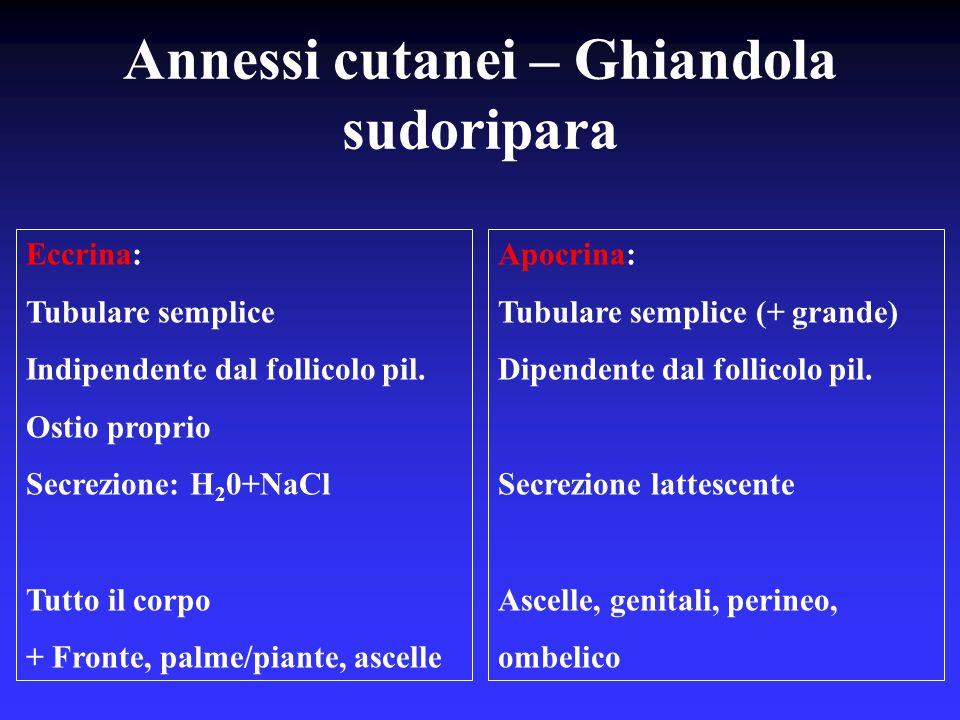 Annessi cutanei – Ghiandola sudoripara