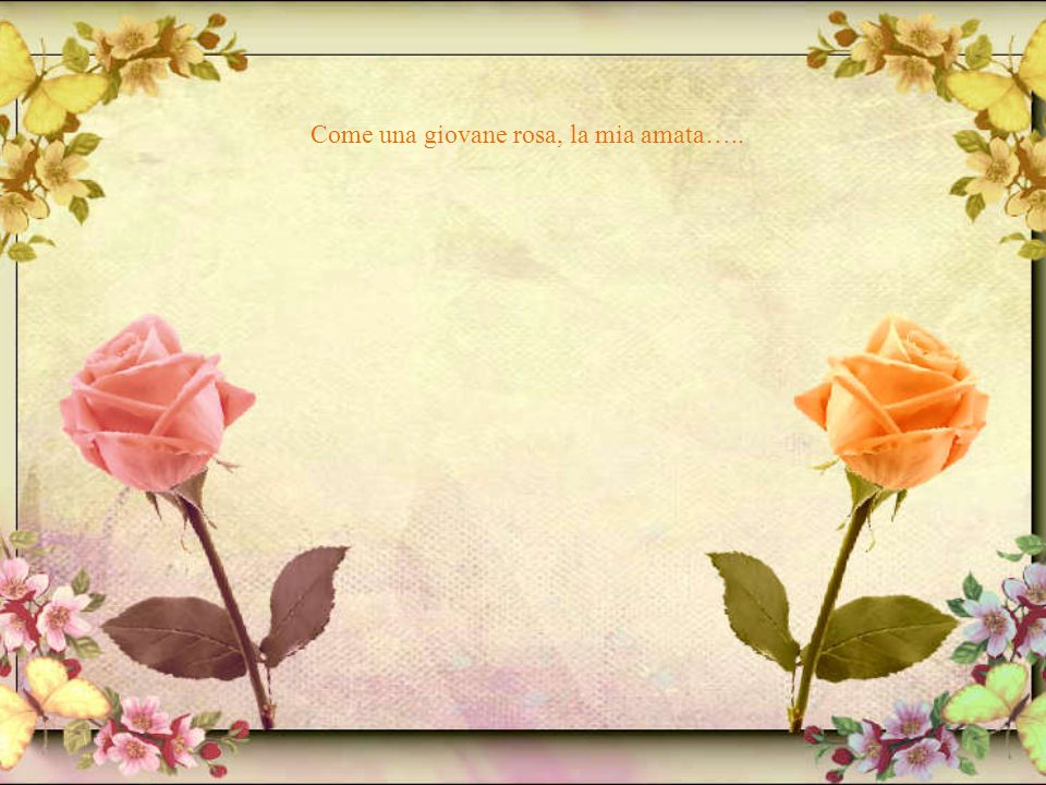 Come una giovane rosa, la mia amata…..