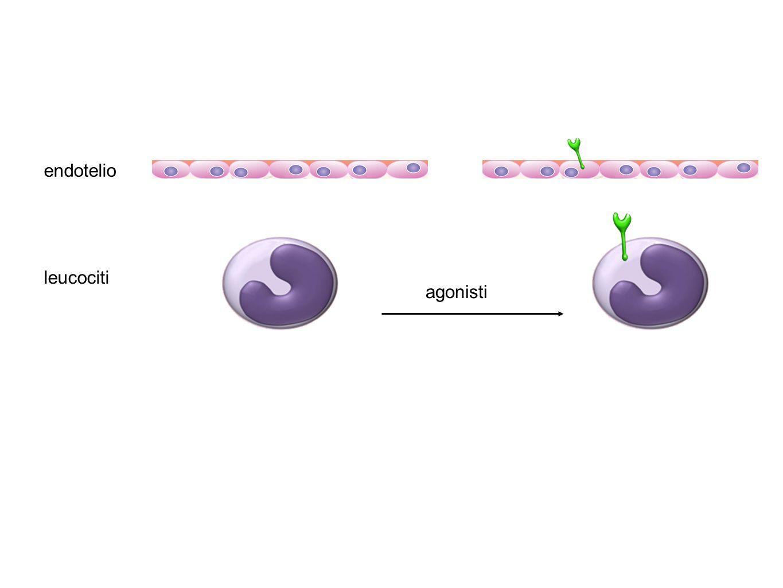 endotelio leucociti agonisti