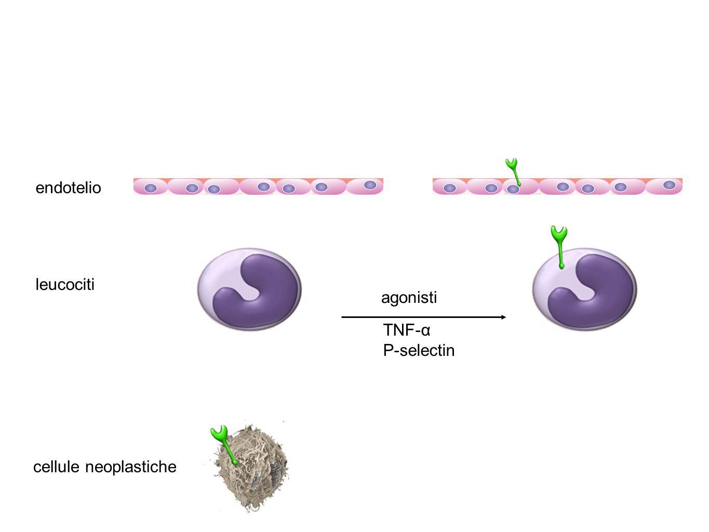 endotelio leucociti agonisti TNF-α P-selectin cellule neoplastiche