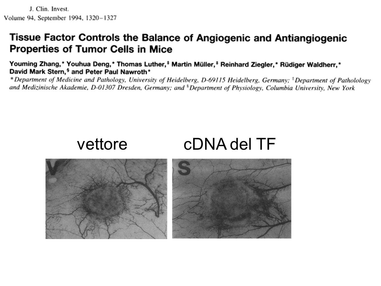 vettore cDNA del TF