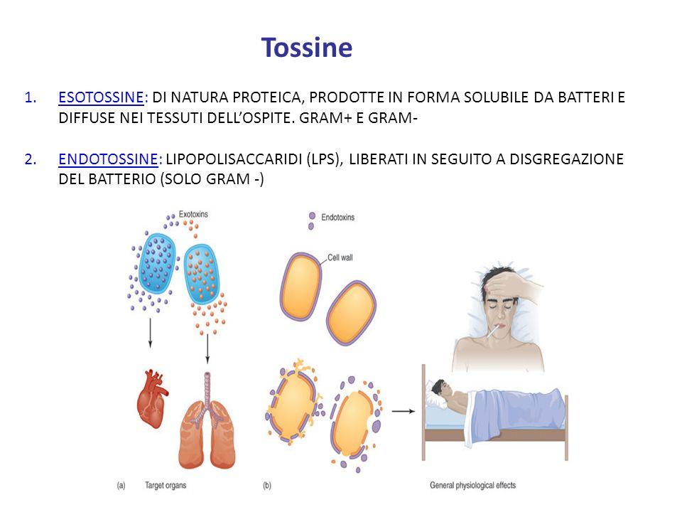 Tossine ESOTOSSINE: DI NATURA PROTEICA, PRODOTTE IN FORMA SOLUBILE DA BATTERI E DIFFUSE NEI TESSUTI DELL'OSPITE. GRAM+ E GRAM-