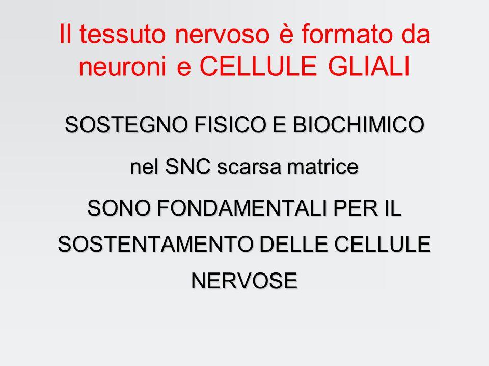 Il tessuto nervoso è formato da neuroni e CELLULE GLIALI