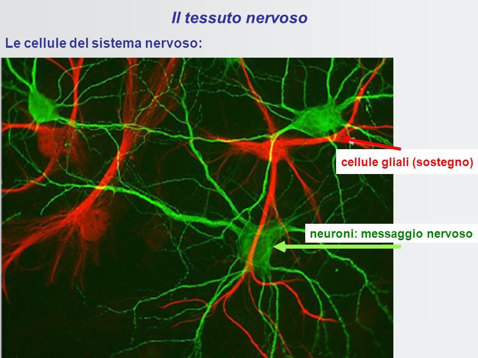 neuroni: messaggio nervoso cellule gliali (sostegno)