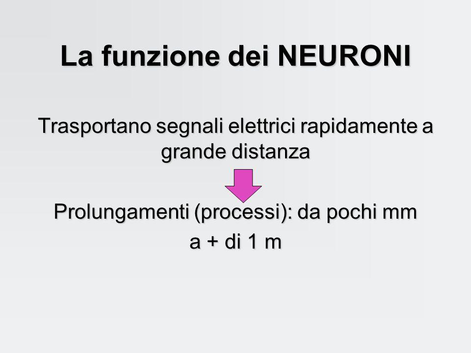 La funzione dei NEURONI
